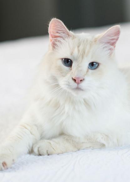 gwynne-white-cat